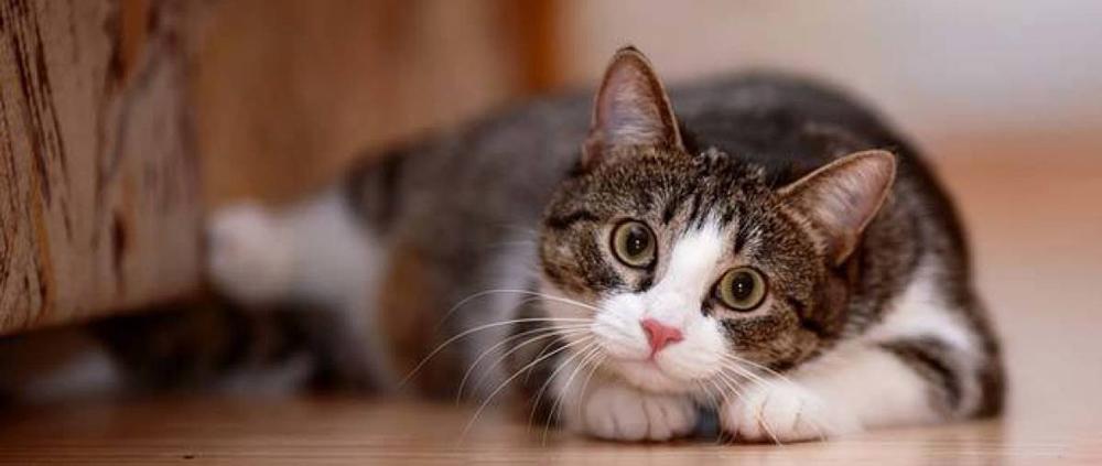 ¿Fan de los gatos? Algunas de sus principales enfermedades y cómo prevenirlas